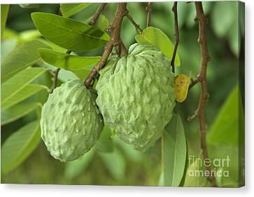 Atemoya Fruit Canvas Print