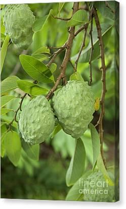 Atemoya Fruit On Branch Canvas Print