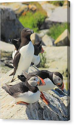 Atlantic Puffins And Razorbill Canvas Print by John Burk