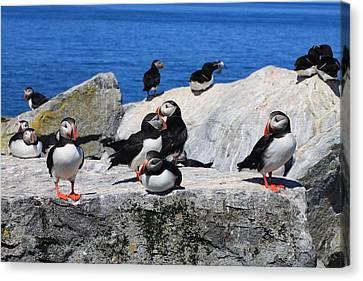 Atlantic Puffins Machias Seal Island Canvas Print by John Burk