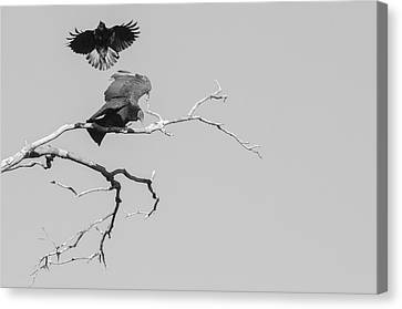 Canvas Print featuring the photograph Attack On A Buzzard by Carolyn Dalessandro