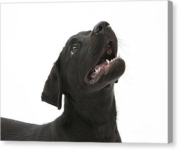 Attentive Black Lab Pup Canvas Print by Mark Taylor