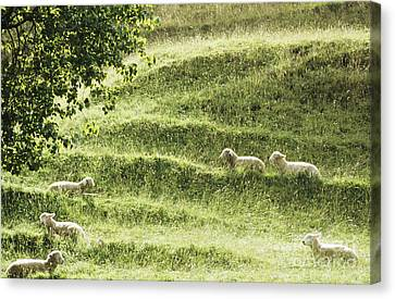 Auckland Sheep Grazing Canvas Print by Larry Dale Gordon - Printscapes
