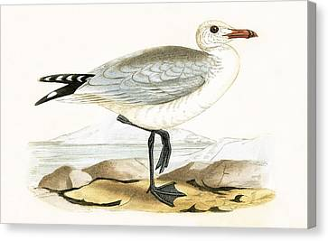 Audouin's Gull Canvas Print by English School