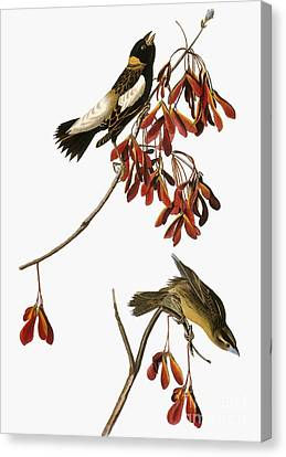 Audubon: Bobolink Canvas Print by Granger
