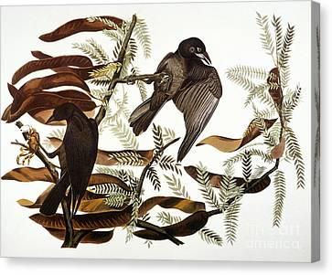 Audubon: Crow Canvas Print by Granger