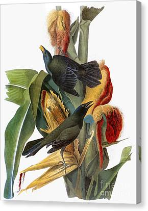 Audubon: Grackle Canvas Print