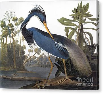 Audubon: Heron, 1827 Canvas Print by Granger