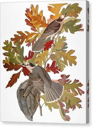 Audubon: Jay Canvas Print by Granger