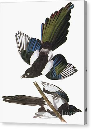 Black-billed Magpie Canvas Print - Audubon: Magpie by Granger