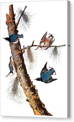 Audubon: Nuthatch Canvas Print by Granger