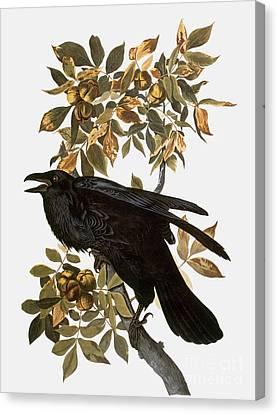 Audubon: Raven Canvas Print by Granger
