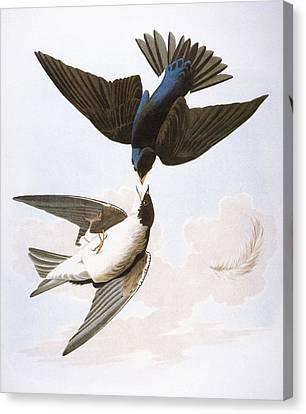 Audubon: Swallows, 1827-38 Canvas Print by Granger