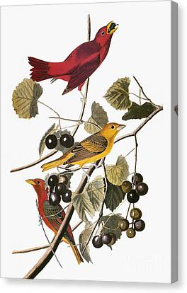 Audubon: Tanager Canvas Print by Granger