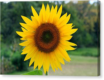 August Sunflower Canvas Print by Jeff Severson