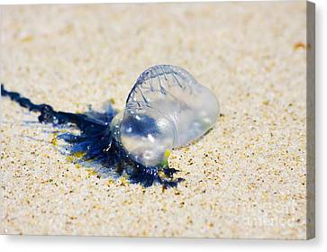 Jellyfish Canvas Print - Australian Blue Bottle Jellyfish by Jorgo Photography - Wall Art Gallery