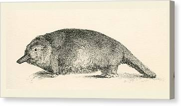 Australian Duck-billed Platypus Canvas Print by Vintage Design Pics
