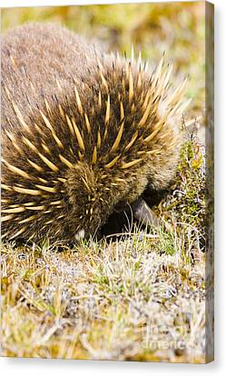 Australian Echidna Burrowing Up Ants Nest Canvas Print