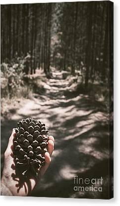 Australian Explorer Gathering Pine Cones Canvas Print
