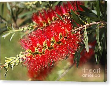 Canvas Print - Australian Native Bottlebrush Flowers by Joy Watson