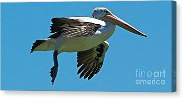 Australian Pelican In Flight Canvas Print by Blair Stuart