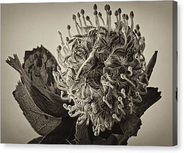 Australian Pincushion 2 Canvas Print by Robert Ullmann