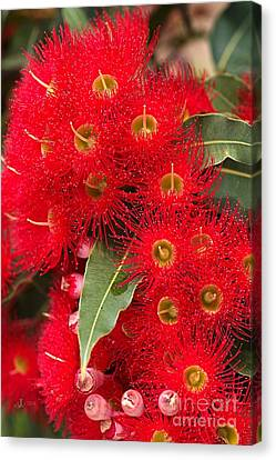 Australian Red Eucalyptus Flowers Canvas Print