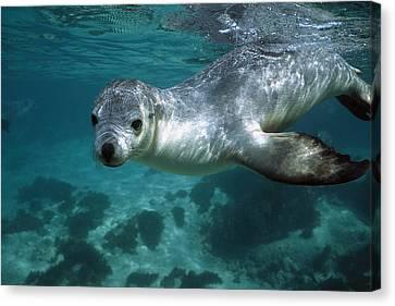 Australian Sea Lion Neophoca Cinerea Canvas Print by Hiroya Minakuchi