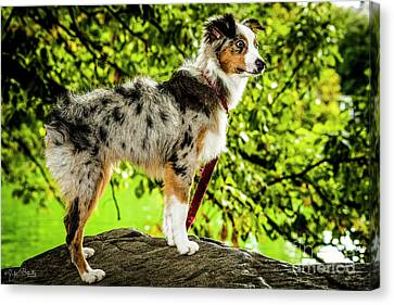 Australian Sheep Dog #1 Canvas Print by Julian Starks