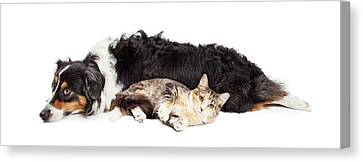 Australian Shepherd Dog And Cat Laying Together Canvas Print by Susan Schmitz