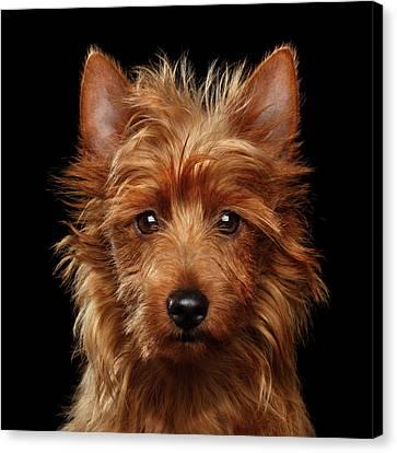 Australian Terrier Canvas Print
