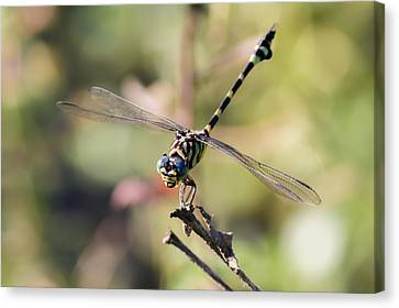 Australian Tiger Dragonfly Canvas Print by Teale Britstra
