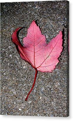 Autum Maple Leaf 2 Canvas Print by Robert Morin