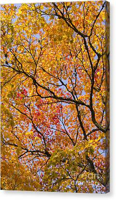 Fiery Red Canvas Print - Autumn Acer Palmatum Matsumurae by Tim Gainey