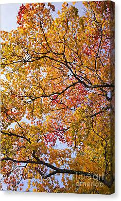 Autumn Acer Palmatum Canvas Print by Tim Gainey