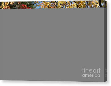 Autumn Acer Vitifolium Canvas Print by Tim Gainey