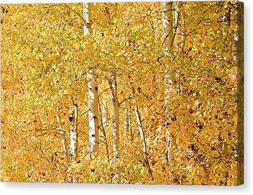 autumn aspen leaves Populus tremuloides Canvas Print by Ed Book