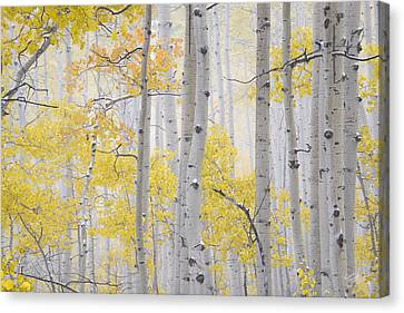 Autumn Aspens 2 Canvas Print