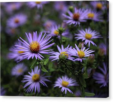 Aster Canvas Print - Autumn Asters by Jessica Jenney