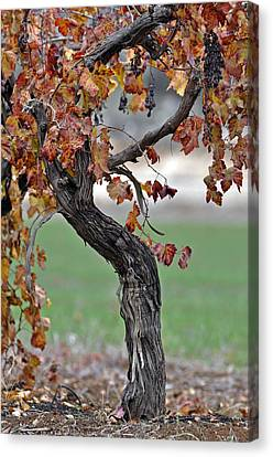 Canvas Print featuring the photograph Autumn At Lachish Vineyards 3 by Dubi Roman