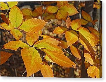 Autumn Beech  Canvas Print by Michael Peychich