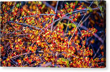 Climbing Bittersweet Cluster Canvas Print by Black Brook Photography