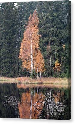 Autumn Birch By The Lake Canvas Print by Michal Boubin