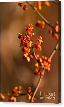 Autumn Bittersweet I Canvas Print by Rowena Throckmorton