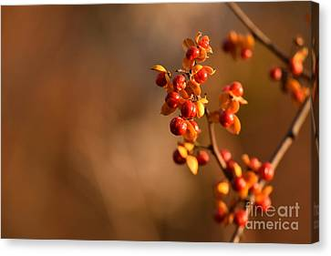 Autumn Bittersweet Canvas Print by Rowena Throckmorton