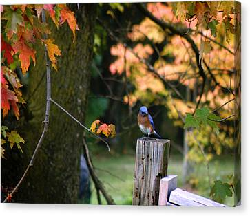 Autumn Blue Bird Canvas Print