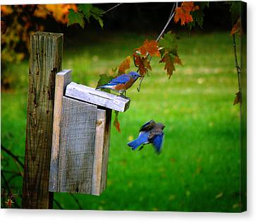 Autumn Blue Birds Canvas Print by Scott Hovind