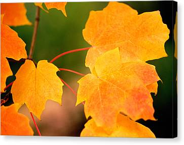 Autumn Color Maple Tree Leaves Canvas Print by Panoramic Images