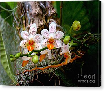 Autumn Colored Orchids Canvas Print by Sue Melvin