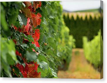 Autumn Comes To The Vineyard Canvas Print